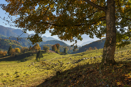 Sunny autumnal landscape with deciduous tree uphill and grazing sheep flock in a wide mountain valley near Poiana Brasov, Romania. photo