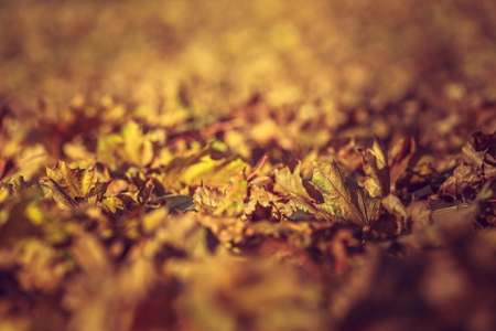 Dry rust-colored fallen autumn leaves, Shallow depth of field. photo