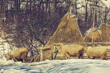 ovine: Winter rural scene with sheep and haystacks in a traditional Romanian sheepfold in Magura village, Brasov county, Romania.