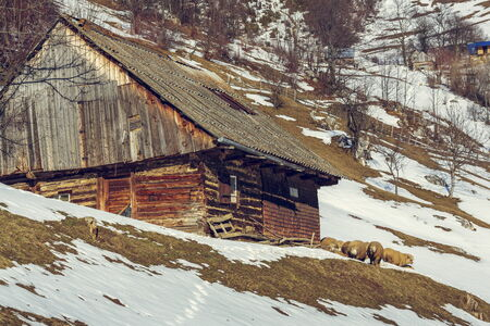 Traditional Romanian wooden house with sheep resting nearby during winter in Magura village, Brasov count, Romania. photo