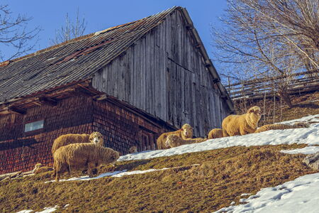 Sunny winter scene with traditional Romanian wooden hut and sheep grazing nearby in Magura village, Brasov count, Romania. photo