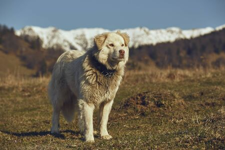 spiky: Vigilant white furry sheepdog with spiky metal collar, standing in the pasture up in the mountains. Stock Photo
