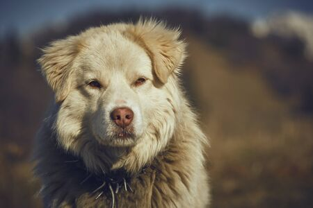 attentive: Portrait of attentive white furry sheepdog with metal collar. Stock Photo