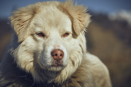 furry: Portrait of attentive white furry sheepdog with metal collar. Stock Photo