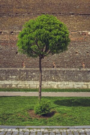 fortified wall: Round trimmed green ornamental tree near a medieval weathered fortified brick wall. Stock Photo