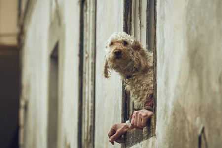 to metamorphose: Curious fluffy golden poodle dog sitting on a window sill between the owners hands. Dog with human hands illusion. Dog and human symbiosis. Stock Photo