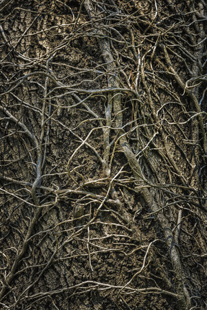 twining: Twining leafless ivy branches creeping up an old oak tree trunk. Intricate grunge natural, organic background, texture.
