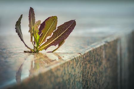 medio ambiente: Planta de punta cada vez mayor a través de la grieta del pavimento en la acera. Naturaleza adaptación en un entorno urbano. Triunfo Vida. Foto de archivo