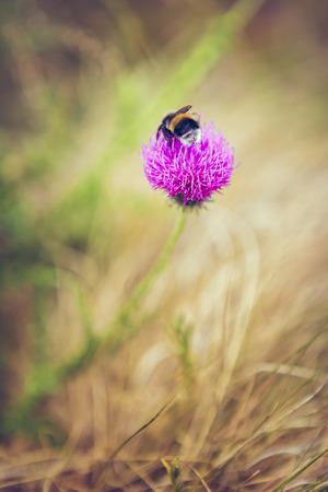bombus: A white-tailed bumblebee (Bombus lucorum) feeding on a purple thistle flower nectar. Pollination. Toned colors. Stock Photo