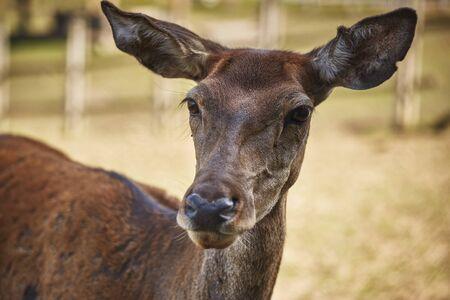 elaphus: Front portrait of curious wild European red deer doe ( Cervus Elaphus). Stock Photo