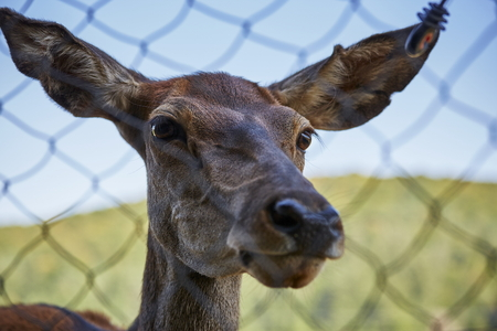 elaphus: Front portrait of a curious wild European red deer female ( Cervus Elaphus) through a wire fence.