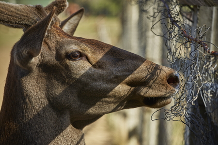 wire fence: Side portrait of a curious alert wild European red deer hart ( Cervus Elaphus) looking through a wire fence. Stock Photo