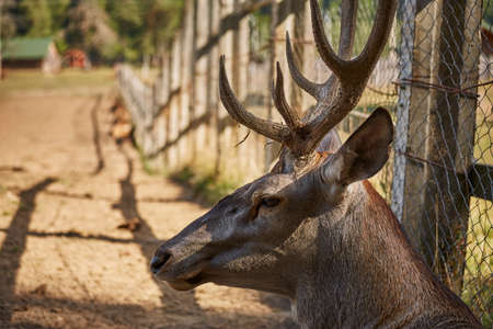 elaphus: Portrait of an alert wild European red deer stag ( Cervus Elaphus) resting near a wire fence..