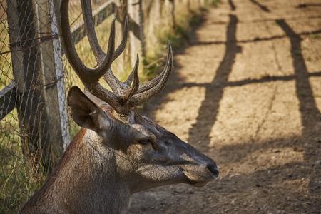 ruminants: Head of a wild European red deer male ( Cervus Elaphus) resting near a wire fence..