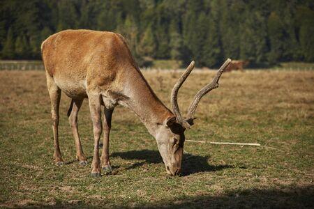 elaphus: Adult European red deer hart ( Cervus Elaphus) grazing in a meadow.