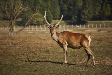 elaphus: Attentive adult wild European red deer stag ( Cervus Elaphus) in a meadow.