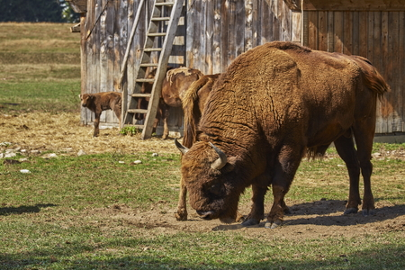 dominant: Large European bison (Bison bonasus) dominant bull and his herd in a nature reserve in Vama Buzaului, Brasov, Romania.