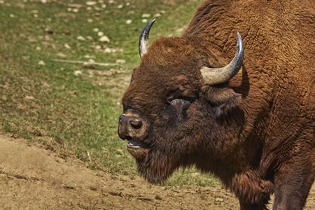 male bull: Head closeup of a roaring European bison (Bison bonasus) male, bull in pairing season.