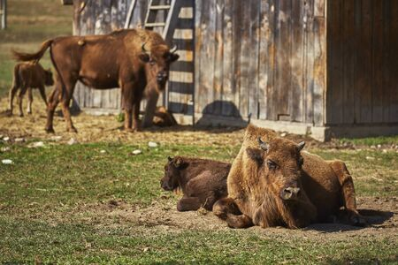 enclosure: Tranquil European bison (Bison bonasus) females and their calves resting in the sun in an enclosure of a nature reserve in Vama Buzaului, Brasov, Romania.