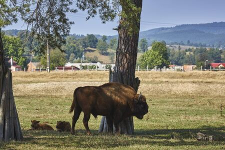 dominant: Large dominant European bisons (Bison bonasus) bull and two calves resting in the shade under a tree in a nature reserve in Vama Buzaului, Brasov, Romania.
