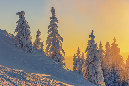 and magnificent: Magnificent alpine winter landscape with fir trees covered by heavy snow at vivid sunset.