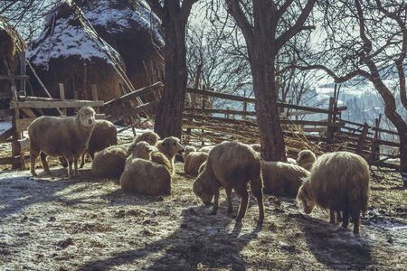 sheepfold: Sheep flock resting in a rustic fold on a winter morning.
