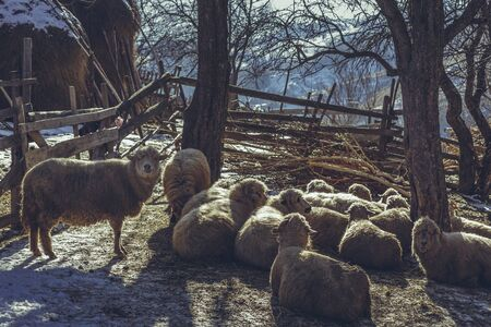 sheepfold: Sheep flock resting in a rustic enclosure on a winter morning. Stock Photo