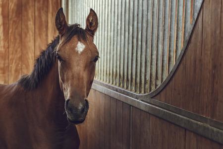 cabeza de caballo: Vista frontal del retrato de un castaño de cuus semental joven atento en un establo.