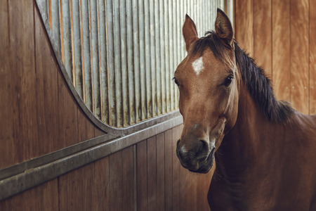 Portrait of an alert curious brown horse in a stable.