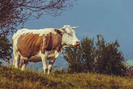 cattle breeding: Brown Dutch breed cow with bell on a grassland in Transylvania, Romania. Ecological cattle breeding in natural environment.
