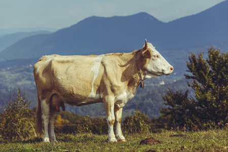 cattle breeding: Peaceful brown female cow with bell. Organic cattle breeding. Cow dung, a natural ecological fertilizer, a renewable and stable source of green organic energy, used to produce biogas.