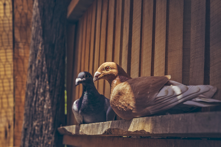 homing: Pair of homing pigeons resting in a wooden loft.