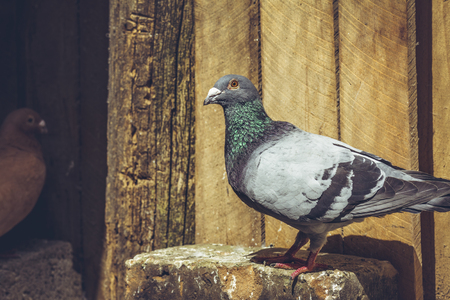 homing: Grey racing pigeon male resting in the sun in a wooden coop. Stock Photo