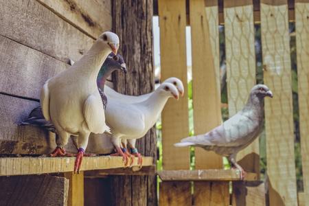 木製の小屋で警告白ドイツ美容ホーマー品種ハトの混合伝書鳩グループ。