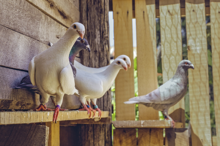 Mixed homing pigeon group with alert white German Beauty Homer breed pigeons in a wooden coop. Stock Photo