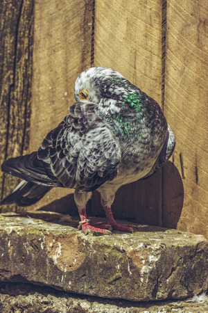 homing: Grey spotted homing pigeon cleaning his plumage.