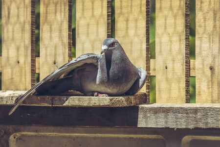 homing: Racing pigeon hen spreading her wing and enjoying a sunbath on a wooden roost.