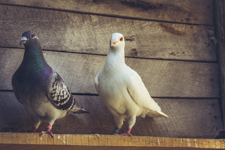 roost: Mixed pigeon pair with white German beauty homer male pigeon and grey homing hen in a wooden loft.
