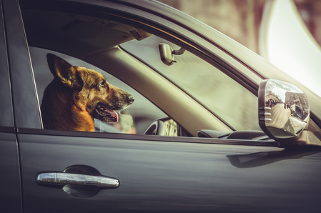safe driving: Side portrait of a happy German shepherd dog sitting in the driver seat. Trained dog driving, steering a car. Attentive German shepherd at car wheel. Safe driving. Car security, guard. Stock Photo