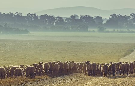 ovine: Flock of sheep grazing on a pasture early in the morning, in Transylvania region, Romania. Stock Photo