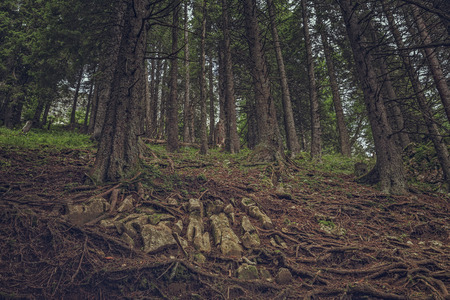 shady: Rocks and spruce, pine roots in a shady coniferous forest.