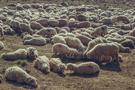 ovine: Flock of sheep resting in a sheepfold up in Bucegi Mountains, Romania.