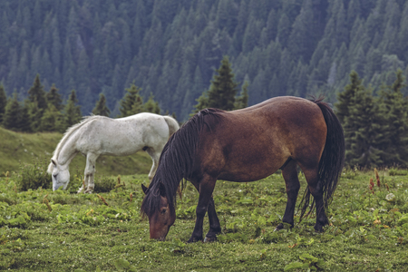 Free horses grazing in the pasture up in the Carpathians mountains, Romania. Stock Photo