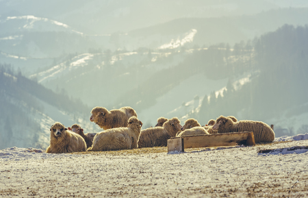 Flock of sheep resting in the warm morning sunlight on a snowy meadow during winter, up in the Carpathians mountains, Romania. Stock Photo
