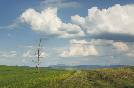 Springtime rural landscape with solitary barren tree in a green cornfield and heavy clouds in the sky.