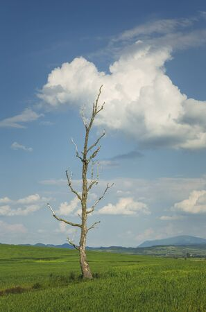 Springtime rural landscape with solitary barren tree in a green wheat field and heavy clouds in the sky.