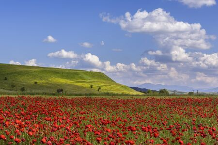 Field of wild poppy flowers in blossom on clear sunny summer day. Stock Photo