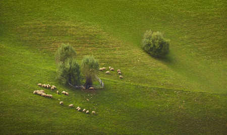 Flock of sheep grazing on a green mountain pasture in Transylvania region, Romania.