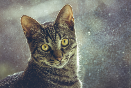 Closeup portrait of a cute curious tabby European cat looking at you over blurred background.