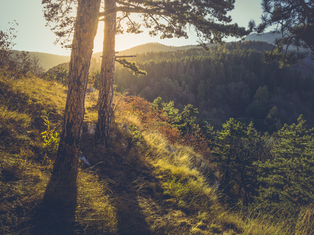 Autumnal scenery with sunset light casting shadows in a coniferous forest. Golden sunlight shining through fir trees at sunrise. Stock Photo